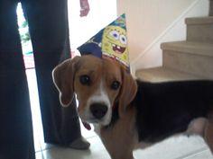 Beagle Happy
