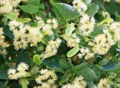 Linden Blossom CO2 total (Tilia cordata)- From Aromatics International