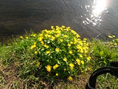 Aconites by a stream - April 2014