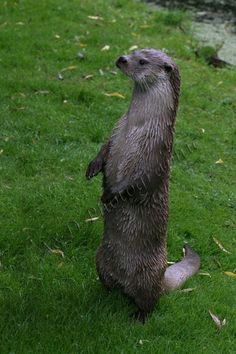 Otter standing on hind legs Otters, Penguins, Legs, Projects, Animals, Log Projects, Blue Prints, Animales, Otter