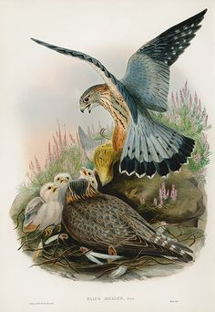 Falco Aesalon Merlin by WOLF USD $1150 Joseph Wolf Owl, Falcon & Eagle Prints from Birds Britain 1873