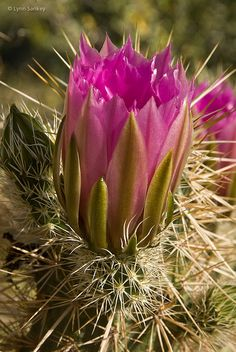 Hedgehog Bloom, by Lynn Sankey -- Arizona lovers see the beauty here
