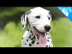 Dalmatians! Our polka dot friends are not only famous for their starring role opposite Cruella DeVille, but also for being the best assistant firefighters could ask for back in the day. They are also great jogging companions and family pets.