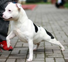 Carmielo 18 months old Puppy and breeding contact: Facebook/Bosphorus Bulls Twitter/Bosphorus Bulls Kennel Türkiye - Istanbul
