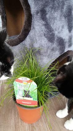 """Katzengras, welches den Katzen auch schmeckt! Die Pflanze kommt direkt aus unserer Gärtnerei und kann ohne bedenken gleich an die Hauskatzen zum """"Naschen"""" hingestellt werden.   #katzengras #gärtnerei #erlebnisgärtnerei #hödnerhof #kräuter #katze #hauskatze #lieblingskatze #cyprus Instagram, Plants"""