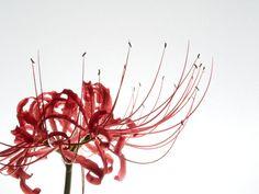 Photo:E-PM2+M.ZUIKO DIGITAL 45mm F1.8   彼岸花 ( ヒガンバナ ) , 曼珠沙華 ( マンジュシャゲ ) 学名 : Lycoris radiata 英名 : spider lily