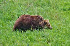 IMGP1688 Brown Bear, Animals, Animales, Animaux, Animal, Animais