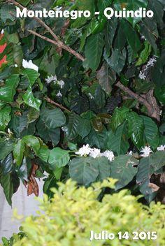Montenegro, Plant Leaves, Fruit, Plants, Colombia, Pictures, The Fruit, Plant, Planting