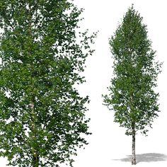 Texture psd tree trees birch
