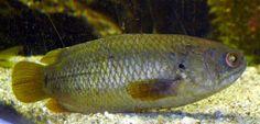 Estos peces pueden respirar fuera del agua - http://www.depeces.com/estos-peces-pueden-respirar-fuera-del-agua.html