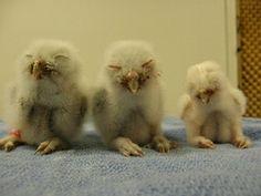 Eastern Screech Owl Babies, via Audubon Florida