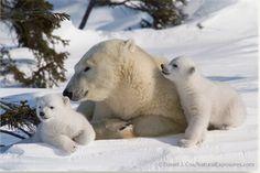 Pictures of polar bears, bear photos, bear pictures, baby polar bears, os. Pictures Of Polar Bears, Bear Photos, Bear Pictures, Cute Baby Animals, Funny Animals, Polar Bears International, Baby Polar Bears, Arctic Animals, Wild Animals
