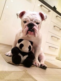 english bulldogs omg
