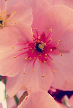 桜 #sakura #CherryBlossom Blossoms, Animation, Fruit, Flowers, Plants, Inspiration, Pictures, Cherry Tree, Biblical Inspiration