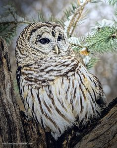 Ever on the lookout for potential prey this Barred owl has discovered an owl tree stump and has claimed it as his own. Howell Michigan. #barred, #owl, #den, #office, #living room, #sun room, #pool room
