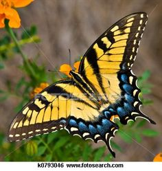 Tiger Swallowtail Butterfly - Buy this stock photo and explore similar images at Adobe Stock Butterfly Images, Butterfly Flowers, Monarch Butterfly, Yellow Butterfly Tattoo, Butterfly Wings, Beautiful Bugs, Beautiful Butterflies, Beautiful Butterfly Pictures, Beautiful Pictures