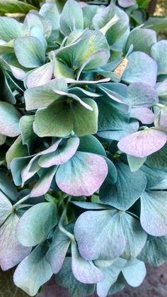 Hydrangea changing colour, Toronto