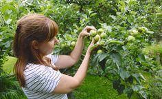 Apfelbäume: Fruchtbehang ausdünnen