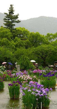 The iris pool garden at Tenmangu Shrine, Dazaifu, Kyushu, Japan is brimming full of Iris ensata this wet June morning. Plants grow in circular cement planters year round.