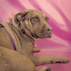 Celeste the Yellow Labrador/Pitbull mix by Immature Animals, via Flickr