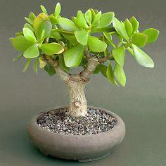 Latin name: Crassula , Common name: Jade plant JP: Crassula Arborescens, the silver dollar plant, shown