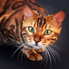 Terrific Photos silver Bengal Cats Style Initially, let's talk about what exactly serves as a Bengal cat. Bengal cats and kittens undoubtedly are a ped. Cute Kittens, Cats And Kittens, Ragdoll Kittens, Kitty Cats, Thor, Beautiful Cat Breeds, Beautiful Cats, Silver Bengal Cat, Bengal Cats