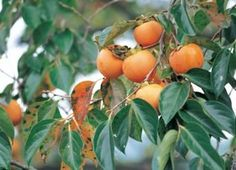 Grow a persimmon tree