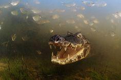 El brasileño Luciano Candisani retrató este caimán en la llanura aluvial del Pantanal (en Brasil). La espectacular instantánea se alzó con el premio en la categoría Comportamiento, animales de sangre fría.