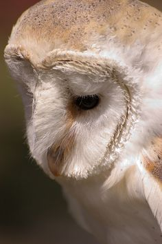 Beauty of a Barn Owl..see the dish shape of his face. This helps the owl hear even better....