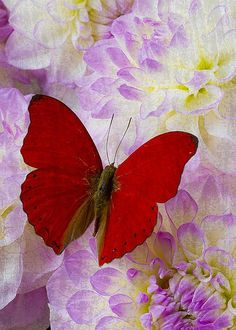 Red butterfly on dahlias - by Garry Gay