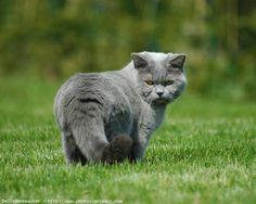 """British shorthair """"dunanana na na na na, can't touch dis"""" is what that face is saying Kittens Cutest, Cats And Kittens, Cute Cats, Cats Meowing, Scottish Fold, Animals Beautiful, Cute Animals, Chartreux Cat, British Short Hair"""