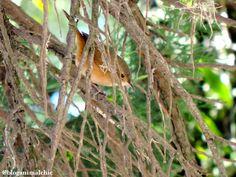 Corruíra (Troglodytes musculus) fotografada na praça central de Poços de Caldas/MG em Agosto/14.