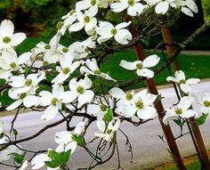 State Flowers Photo Gallery: Virginia State Flower - Flowering Dogwood