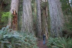 Ecology of the Coast Redwood (Sequoia sempervirens)- Birds - Mammals - Slalmanders - Plants