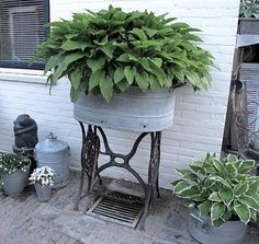 Galvanized Metal Tubs Buckets & Pails as Planters 2019 Hosta in galvanized containerscourtesy of Primitive Pond Homestead kathymcdonald container gardening The post Galvanized Metal Tubs Buckets & Pails as Planters 2019 appeared first on Backyard Diy. Galvanized Planters, Galvanized Metal, Garden Planters, Galvanized Decor, Porch Planter, Patio Plants, Metal Planters, Balcony Garden, Potted Plants