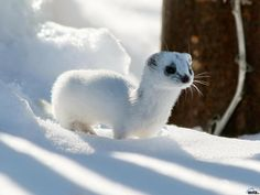 Belette des neiges