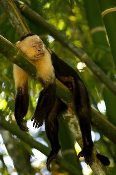 A white-faced capuchin monkey sleeping on a bamboo stalk. Copyright: National Geographic  #animals / Roy Toft
