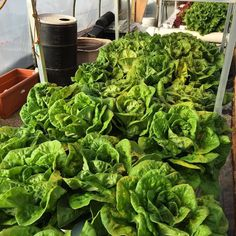 Harvest day for my first nft lettuce grow. 5 weeks total crop time. Got some serious size. 2 dollars a head  #growyourown #nft #hydroponics #localgrown #hydro #aeroponics #lettuce #bostonbibb #greenleaf #redleaf #feedthepeople #midwest #osu by sacred_dimension