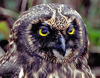 Short-Eared Owl - Galapagos