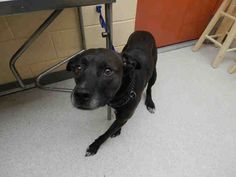 CHEVELLE is avail. for adoption from @CUHumane #Urbana #Champaign #IL www.cuhumane.org PINNED 7/19/15  (CHAMPAIGN COUNTY HUMANE SOCIETY)