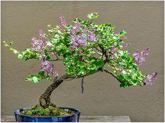 Lilac Bonsai by Giancarlo Bisone | Fine Art