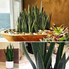 ​Poppy's Succulent of the Week is Sansevieria Black Sword , also known as the Snake plant. This variety of sansevieria is unique in that it does not have yellow edging or striped leaves Mother In Law Tongue, Tropical Garden Design, Black Garden, Agaves, Snake Plant, My Beauty, Garden Plants, Poppy, Sword