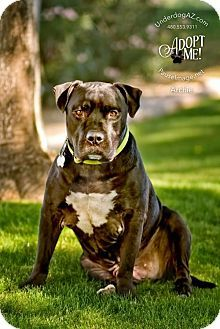 Pin By Moe Grealis On Dogs Pets American Bulldog Mix Labrador