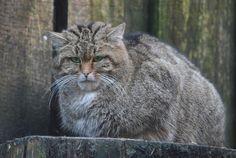 Oder einfach keine Lust auf ein Foto ?   Wildkatze oder eher Miesepeter...der Blick sagt alles...    WP Lüneburger Heide/ Nindorf