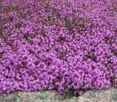 Step on it and it explodes in fragrance!  Creeping Thyme, perfect between stepping stones.