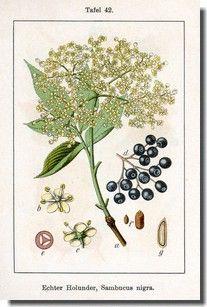 gravure fleur de sureau - Recherche Google