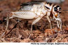 Crickets Are Not a Free Lunch, Protein Conversion Rates May Be Overestimated – Entomology Today