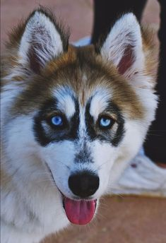 Red Husky Puppies, Husky Puppy, Cute Puppies, Dogs And Puppies, Husky With Blue Eyes, Beautiful Dogs, Fur Babies, Dog Breeds, Dog Cat