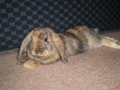Twiglet, Brown and Caramel Harlequin French Lop Bunny Rabbit ...