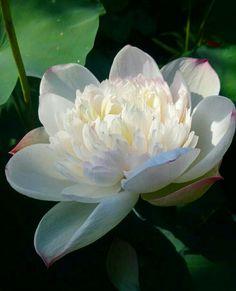 Lotus Wallpaper, Bonsai, Plants, Flowers, String Garden